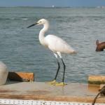 Vogelwelt Sanibel